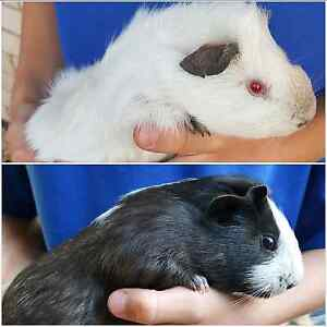 2 x young male guinea pigs Kallaroo Joondalup Area Preview