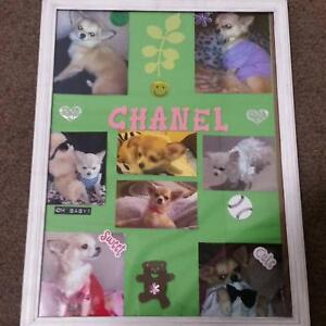 Looking for a chihuahua named chanel