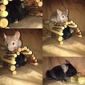 Male Chinchilla Kits