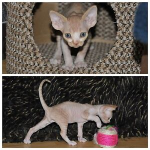 Devon Rex Kittens (starting waitlist)