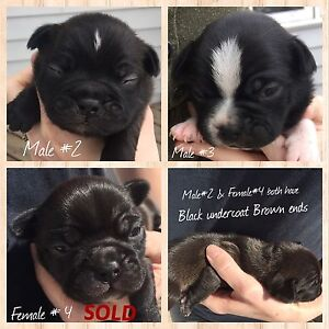 ONLY 2 Bugg puppies left!!  ( Boston Terrier x pug )