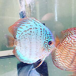 Forest December discus shipment has arrived- on SALE NOW Como South Perth Area Preview