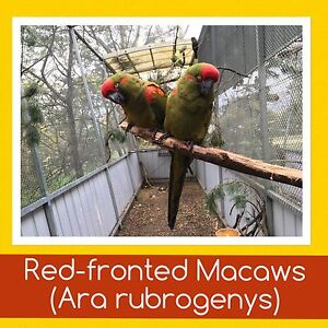 Red-fronted Macaws Queanbeyan Area Preview