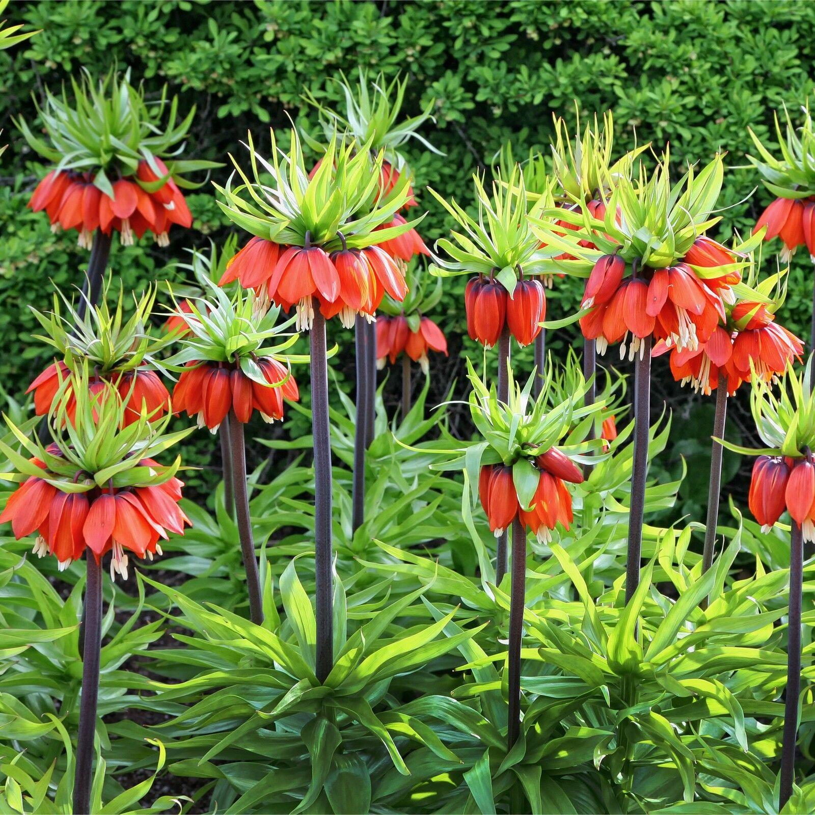 Fritillaria rubra crown imperial giant spring flowering bulbs fritillaria rubra crown imperial giant spring flowering bulbs perennials mightylinksfo