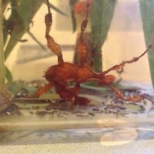 Stick insects - Various sizes Caulfield Glen Eira Area Preview