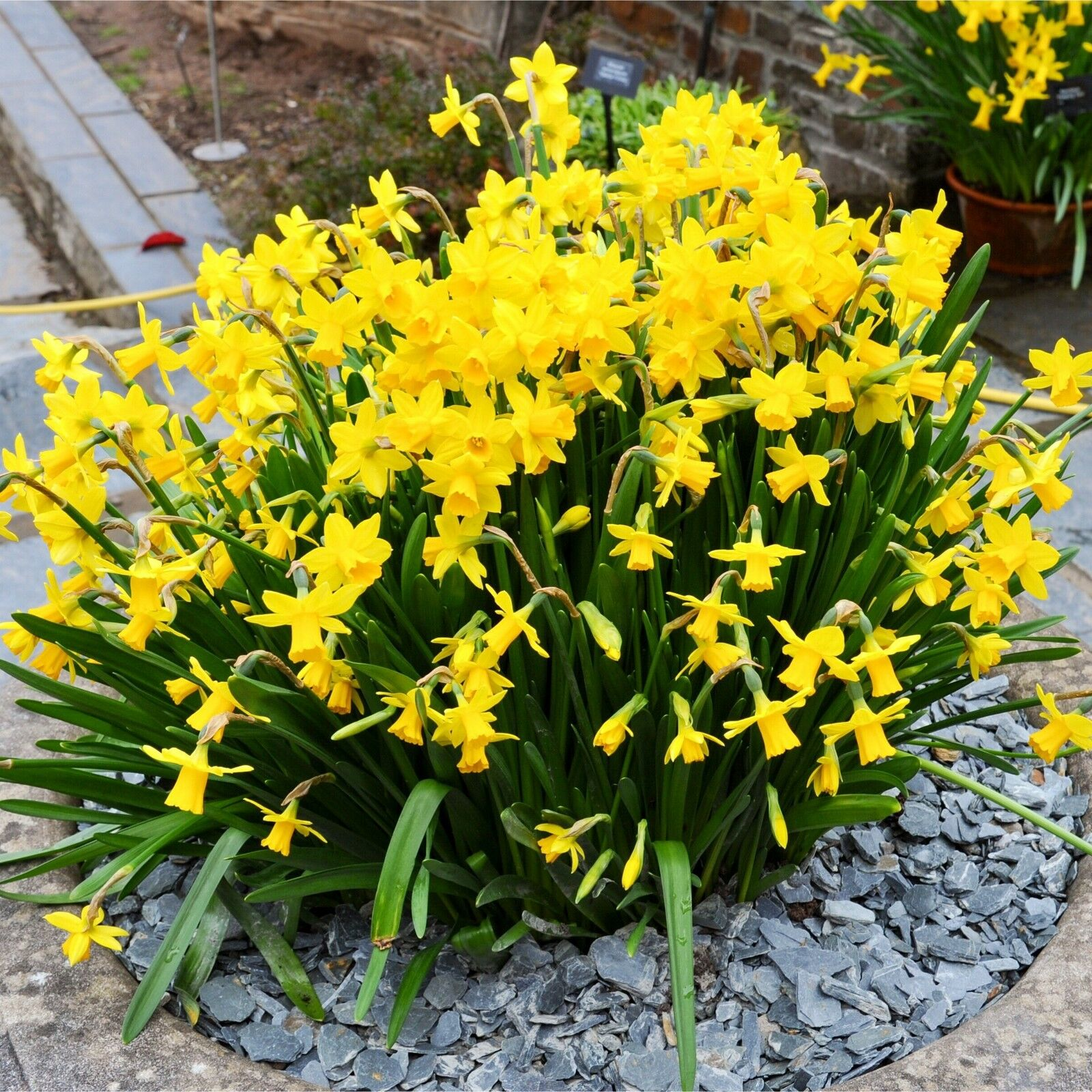Dwarf Daffodil Bulbs Spring Flowering
