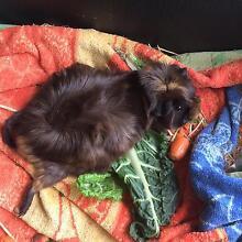 guinea pigs Williamstown Barossa Area Preview