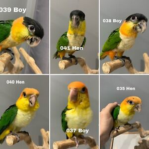 Hand raised baby Caiques Whiteside Pine Rivers Area Preview