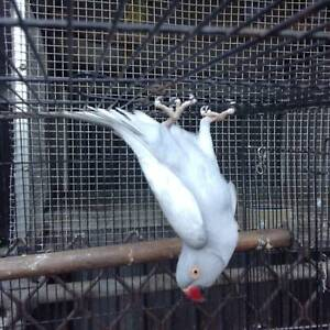 4 YEARS OLD GREY PIED HEN $35