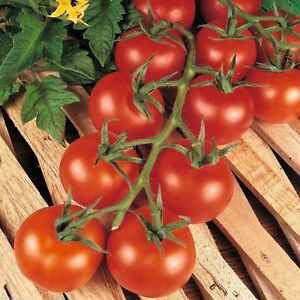 Tomato F1 Hybrid Shirley 30 Organic Seeds Professional Grower Blight Resistant