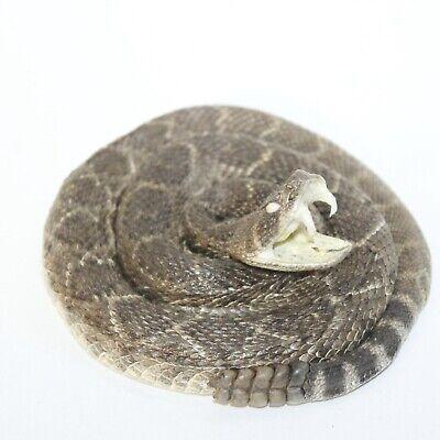 1 Small Coiled Rattlesnake  #0917  Taxidermy Diamondback Sidewinder