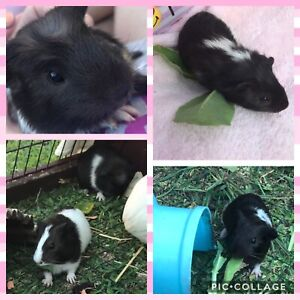 Gorgeous 4 week old baby guinea pigs. 2 FEMALE, 1 MALE