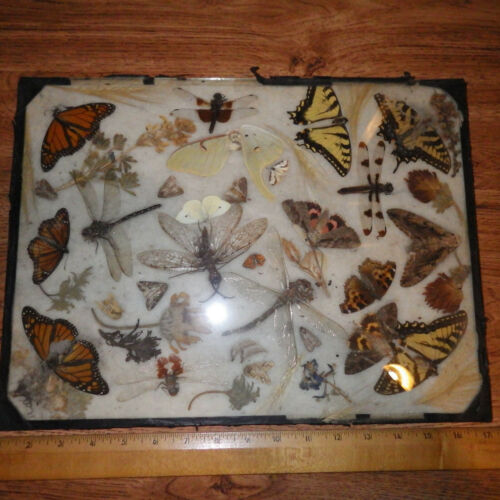 VINTAGE REAL BUTTERFLY WINGS Dragon Fly Large Natural Art Taxidermy Specimen