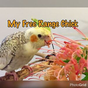 My Free Range Chick Manoora Cairns City Preview
