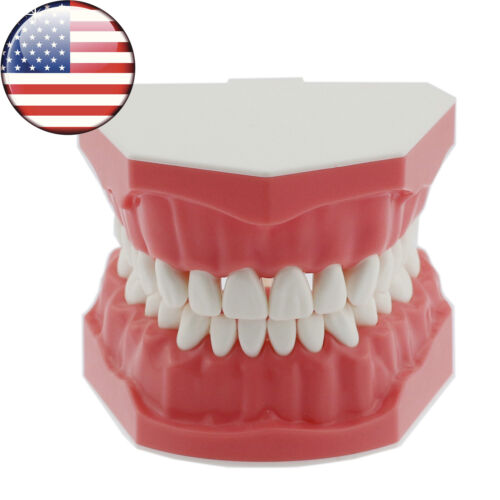 USA Dental Brushing Flossing Practice Teeth Typodonts Model Teaching Studying