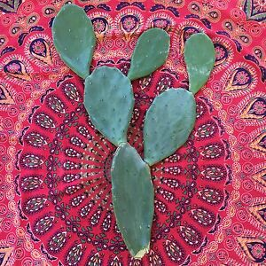 Prickly Pear Cactus Woodberry Maitland Area Preview