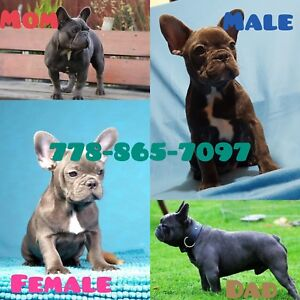 Quality Rare Colour French Bulldog Puppies