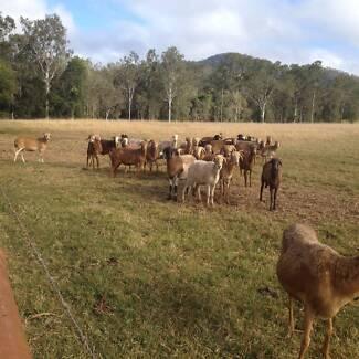 DAMARA SHEEP - EWES FOR SALE Atherton Tablelands Preview