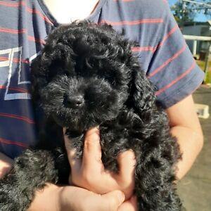 1 Boy Shoodle Puppy. 8 Weeks old. Shihtzu x Toy Poodle