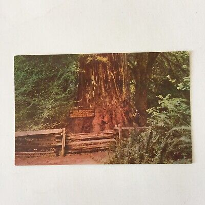 Giant Redwood Tree (Giant Redwood Tree Northern California Unposted Vintage Postcard )