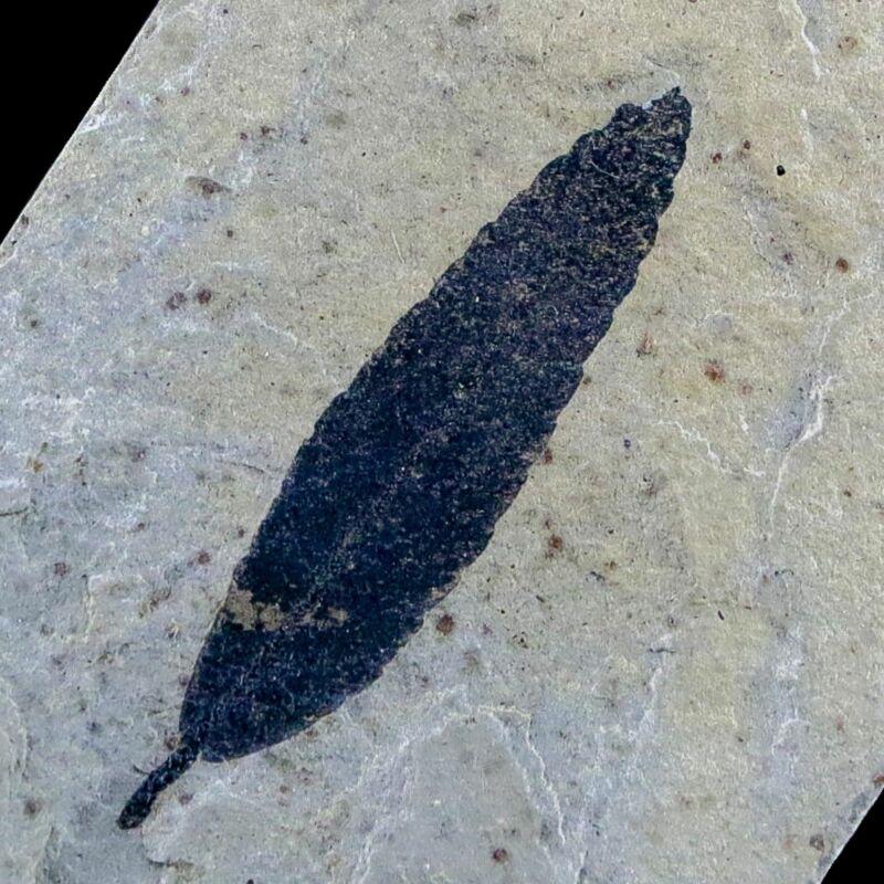 "1.3"" Detailed Cedrelospermum Nervosum Fossil Plant Leaf Eocene Age Green River"