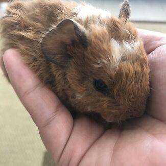 Baby Piggies! Guinea Pigs