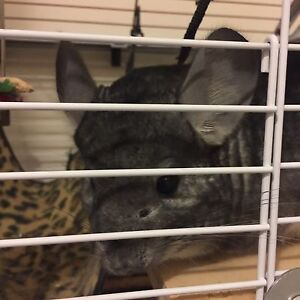 *Extreme low price* 8 months old Chinchilla looking for new home