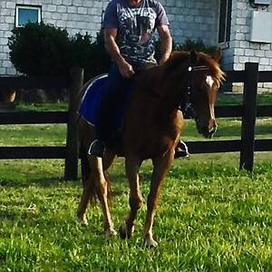 Q/horse x stockhorse gelding Caboolture Caboolture Area Preview