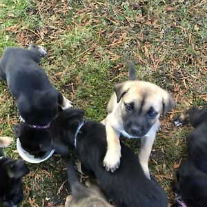 German shepherd cross puppies