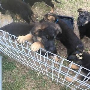 German Shepherd pups Thirlmere Wollondilly Area Preview