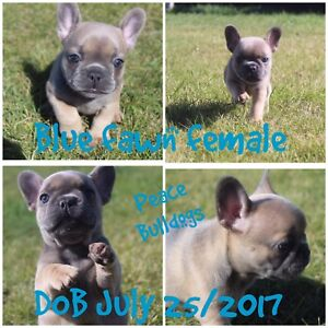 CKC Registered French Bulldogs Puppies