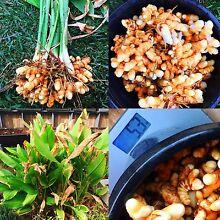 TURMERIC RHIZOME (freshly harvested) Loganlea Logan Area Preview