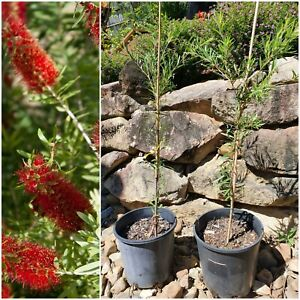 Red Bottle Brush Tree
