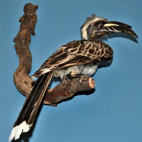 African Grey Hornbill wall mount Taxidermy