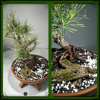 BONSAI from $28