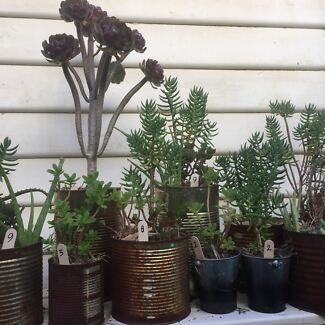 PLANT SALE: Succulents in metal tins
