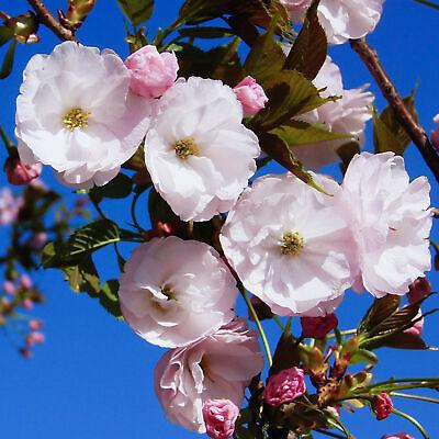 Prunus incisa Gotemba | Japanese Flowering Cherry | Ornamental Tree | 5-6ft