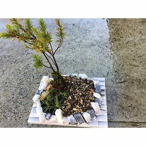 Bonsai (Japanese) Shellharbour Shellharbour Area Preview