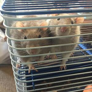 Looking for a loving home for 2  5 month old male rats with cage Newport Pittwater Area Preview