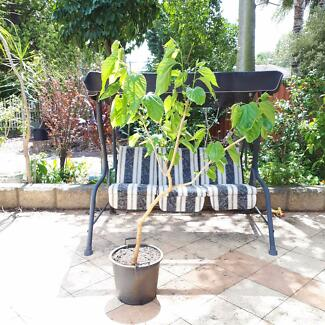 WHITE MULBERRY TREE, FRUITING NOW, $50