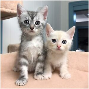 Cute Rescue Kittens Need Homes! EATONS HILL VET