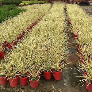 Cordline Torbay dazzler plant Perth grower direct Landsdale Wanneroo Area Preview