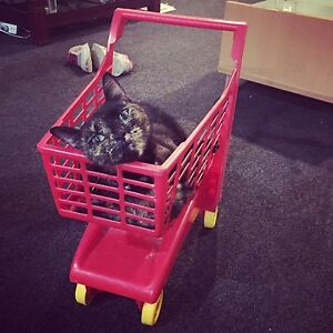 Tortoiseshell Cat Greenslopes Brisbane South West Preview