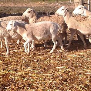 Dorper ram lamb around 6 months old smaller one in pic Pinkerton Plains Gawler Area Preview