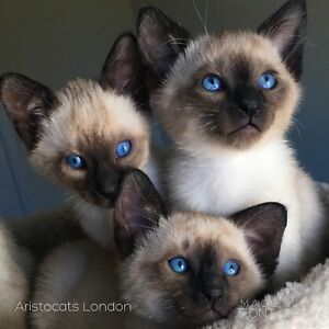 Kittens Expected- High Quality Siamese