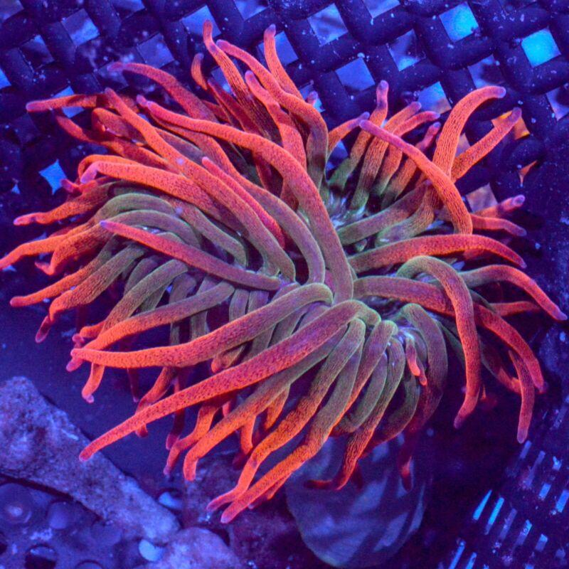 WYSIWYG Rainbow Bubble Tip Anemone * RBTA * Live Coral