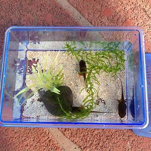 Tadpoles, portable tank, lave water plants These three tadpoles Carlingford The Hills District Preview