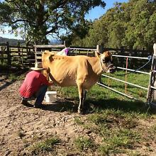 House milking cow and steer calf Wallagoot Bega Valley Preview