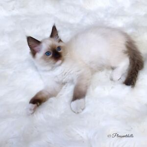 Gorgeous Female Seal Mitted TICA Registered Ragdoll Kitten!!