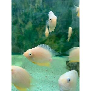 Gold Severum Bulleen Manningham Area Preview